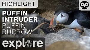 puffin burrow intruder project puffin live cam highlight youtube