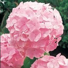 pink hydrangea 73428 jpg