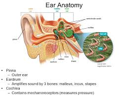Outside Ear Anatomy The Senses Ppt Video Online Download