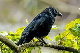 pourquoi un corbeau ressemble t il à un bureau totem le corbeau la corneille