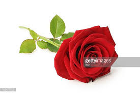 Picture Of Roses Flowers - flowers stock photos and pictures getty images