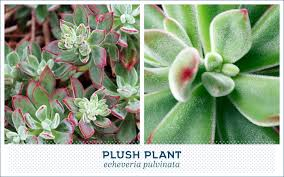 Succulents That Don T Need Light 20 Popular Types Of Succulents Ftd Com