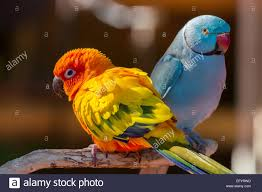 pair of small colorful parrot lovebirds agapornis stock photo