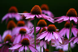 echinacea flower echinacea flowers photograph by emanuel tanjala