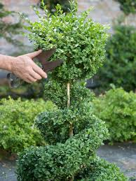 Lollipop Topiary Tree - creating a boxwood topiary hgtv
