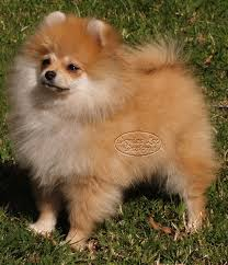 feeding poms a raw food diet pomeranian information and facts