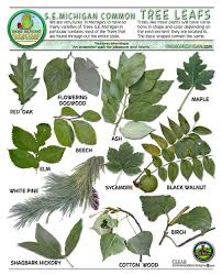 michigan tree identification by leaf leavesid trees shrubs