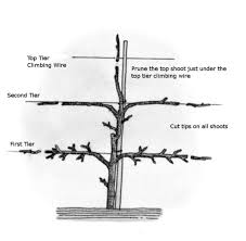 when to prune native plants diagram showing three trees in stages of open center pruning