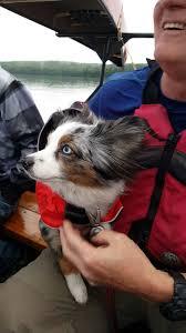 australian shepherd youtube opeongo backcountry camping by water taxi w maryann u0026 randy