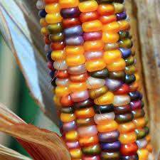 ornamental corn glass gem organic harris seeds