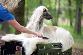 afghan hound good and bad afghan hounds as loyal pet about pet life