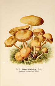 236 best mushrooms illustration images on pinterest botanical
