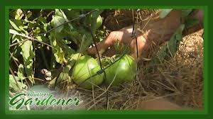 Mulching Vegetable Garden by Mulch Benefits In The Organic Vegetable Garden Volunteer