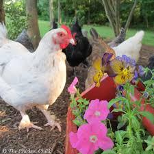 the chicken the chicken vet addresses legalizing chicken