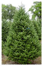 fraser fir christmas tree silent evergreens wholesale balsam fir fraser fir scotch