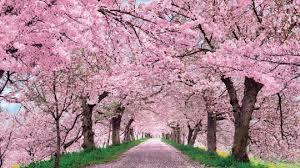 cherry blossom pics cherry blossom festival kimchicrew