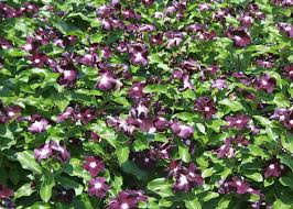 vinca flowers annual flowering vinca deserves garden space mississippi state