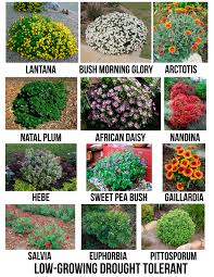 drought tolerant flowering shrubs for san diego casa shady