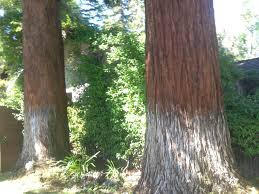 pics redwood trees too close to the house growing 2014 vines
