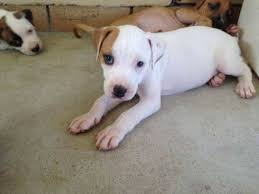 belgian shepherd x staffy aww adorable puppies for sale staffy x bull arab we have 8