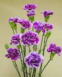 Purple Carnations Online Wholesale Bulk Discount Mini Spray Carnations Purple