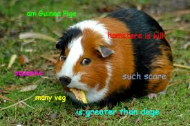 Doge Know Your Meme - guinea pige doge guinea pig care and animal
