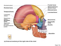 Right Side Human Anatomy Chapter 7 The Skeleton Part A Ppt Video Online Download