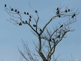 tree of crows jackdaws by momotte2 on deviantart