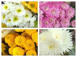 mums flower longest lasting inexpensive cut flowers