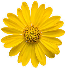 bright lights yellow african daisy osteospermum hybrid