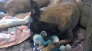 belgian shepherd stuffed animal belgian malinois dog dale his monkey for owner youtube