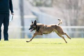 belgian malinois herding 8 popular herding breeds you need to know about u2013 iheartdogs com