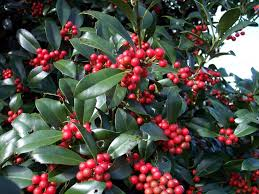 christmas plants houseplant care guides the lore of christmas plants