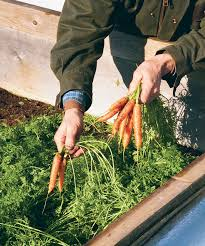 plant a second crop for a bountiful fall harvest vegetable gardener