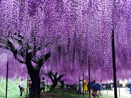 Trellis For Wisteria Travel Recommended Sites For Viewing Wisteria Trellis In Kansai
