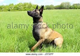 belgian sheepdog puppies texas two purebred belgian sheepdog malinois on a white background stock