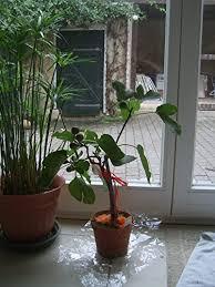 madagascar tree dracaena marginata reviews