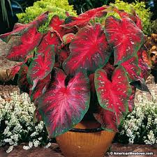 caladium bulbs red flash american meadows