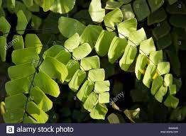 illinois native plants silver dollar maidenhair fern andiantum peruvianum native to