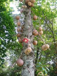 Snake Fruit Tree - the dangerous and dreadful smells of the cannonball tree