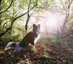 jogging with australian shepherd the best dogs to run with