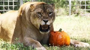 it u0027s a big cat halloween youtube
