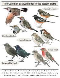 Magpie Birds In Backyards Publications Eastern Sierra Audubon