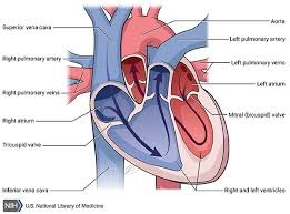 Heart Anatomy Arteries Arterial Tortuosity Syndrome Genetics Home Reference