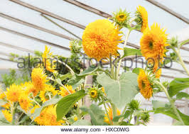 teddy sunflowers helianthus annuus teddy sunflowers growing in a greenhouse