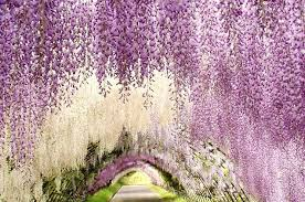 japan flower tunnel wisteria flowers tunnel at kawachi fuji garden in japan