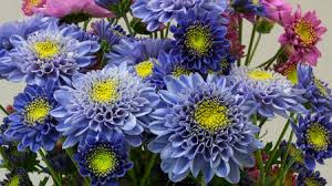Chrysanthemum Scientists Genetically Engineer The World U0027s First Blue