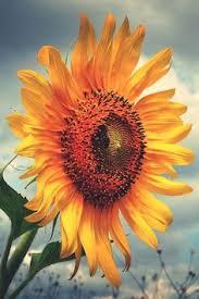 velvet queen sunflower seeds red sunflowers black heart and