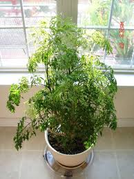 ming aralia houseplant with white pot versatile beautiful ming
