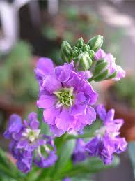 Fragrant Garden Plants Stock Flower Info U2013 Caring For Stock Plants In The Garden